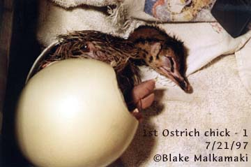 Chick hatching from ostrich egg